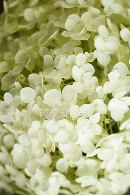Крупним планом вигляд білих гортензії квітів — стокове фото