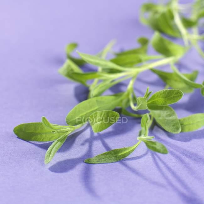 Vue rapprochée des jeunes feuilles de lavande sur la surface violette — Photo de stock