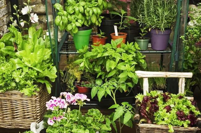Lechuga y flores en macetas - foto de stock