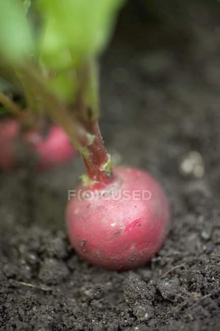 Rabanete, crescendo no solo — Fotografia de Stock