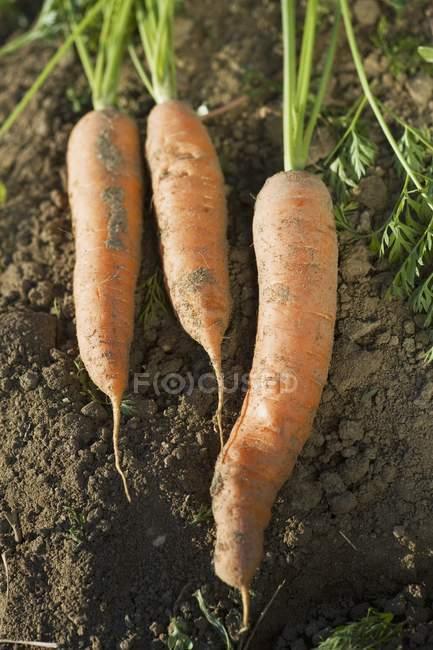 Щойно зібране морква — стокове фото