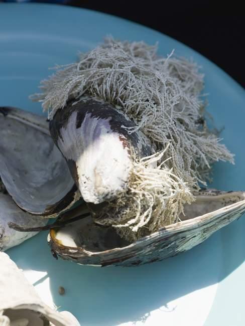 Detailansicht der Muschelschalen mit Algen wachsen auf Sie — Stockfoto