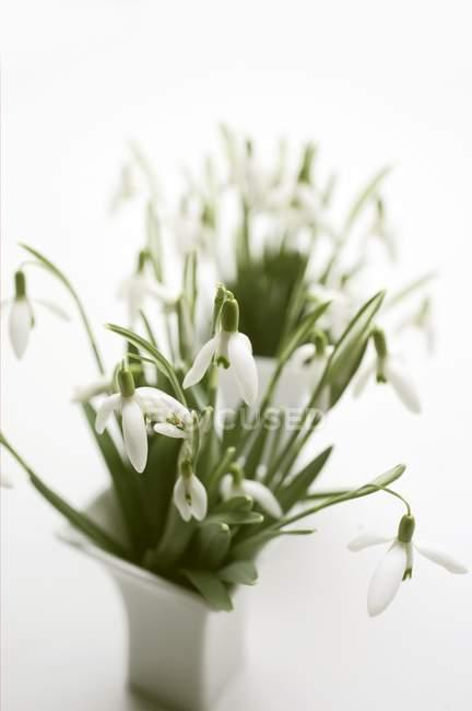 Vista de closeup de snowdrops em dois vasos no fundo branco — Fotografia de Stock