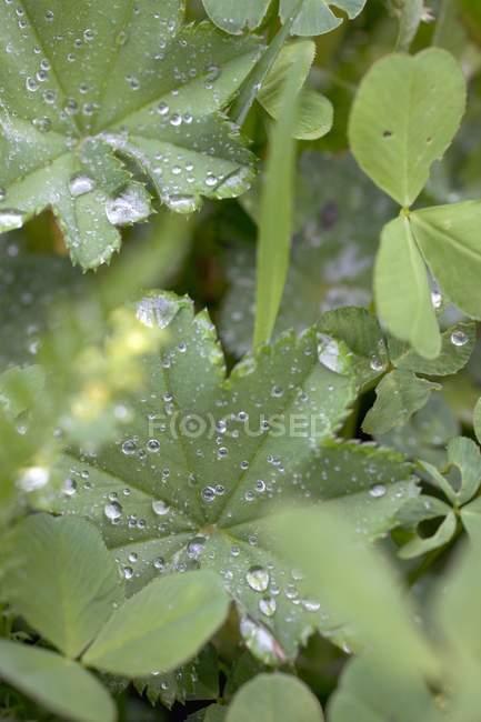 Листья женской мантии с капельками воды в овощной постели — стоковое фото