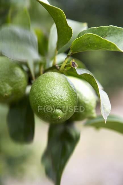 Limoni verdi non maturi — Foto stock