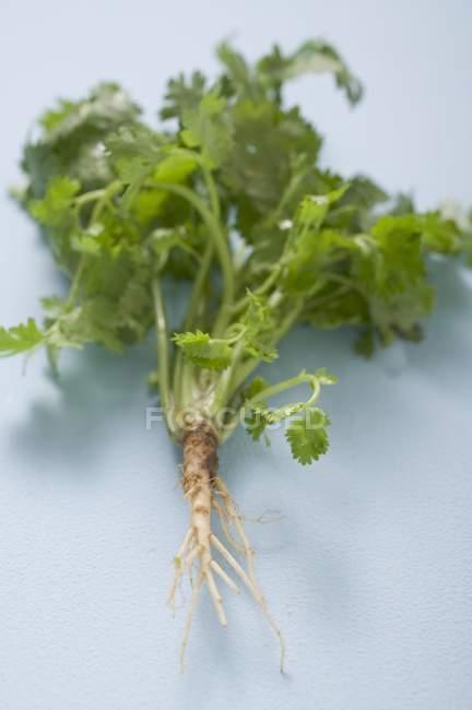Свіжий коріандр з кореня — стокове фото