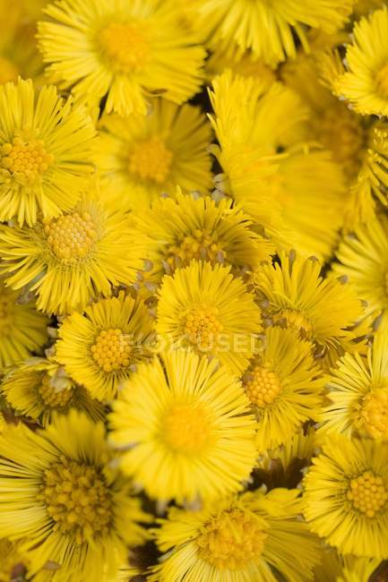 Closeup view of coltsfoot flowers heap — Stock Photo