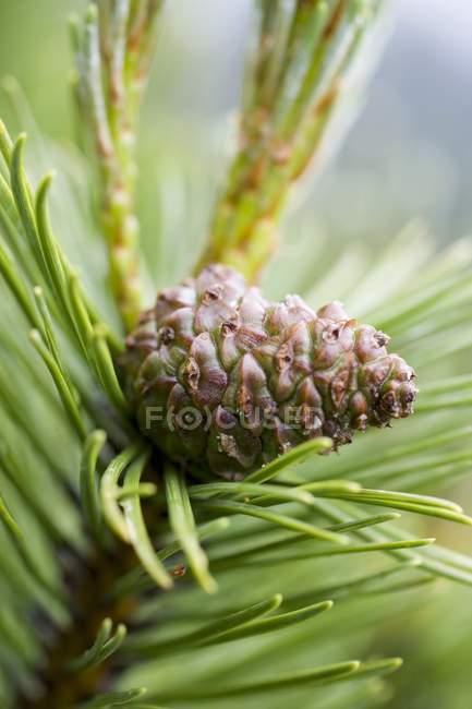 Vista del primo piano del cono del pino sulla filiale — Foto stock