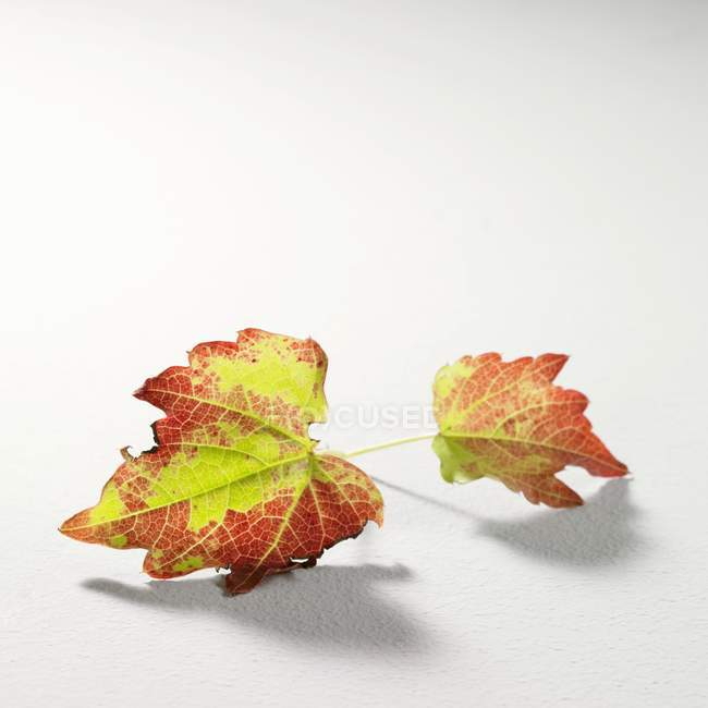Autumnal vine leaves on white surface — Stock Photo