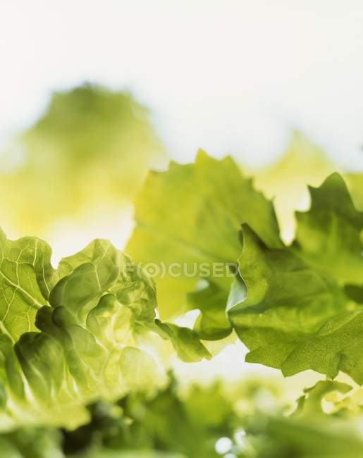 Green Lettuce leaves — Stock Photo