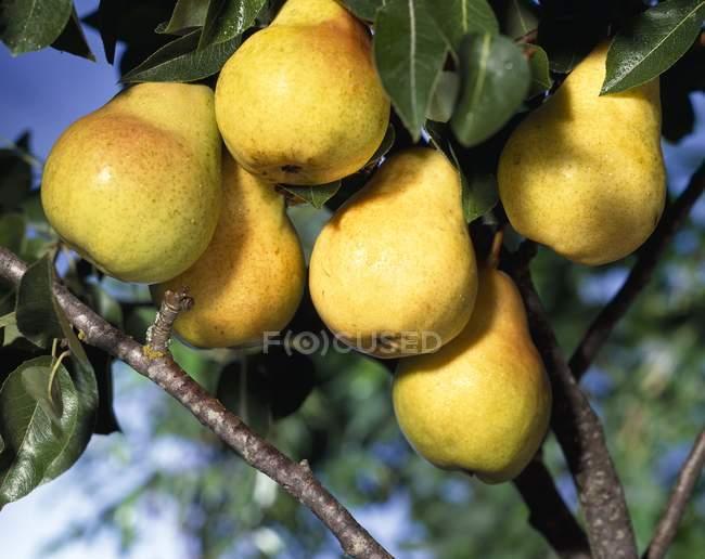 Bando de peras amarelas — Fotografia de Stock