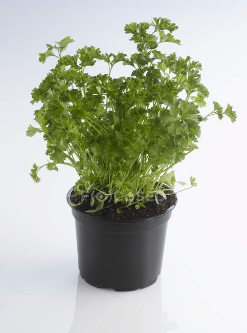 Pot de persil frais haché — Photo de stock