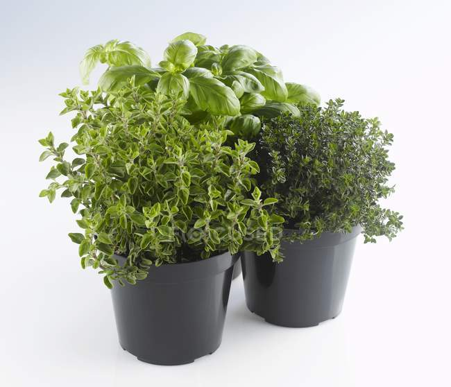 Oregano and basil in pots — Stock Photo