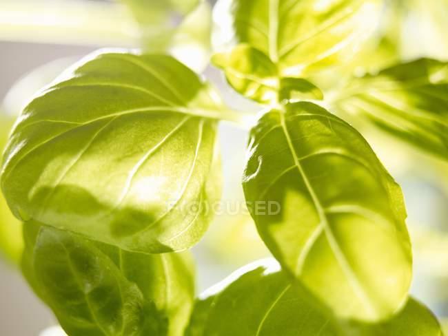 Свіжий зелений базилік — стокове фото