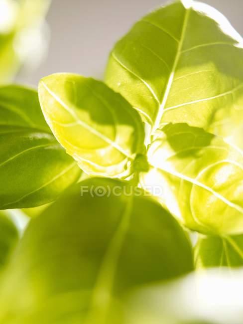 Свежий зеленый базилик — стоковое фото