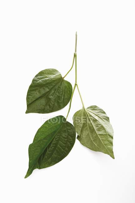 Листья Ча Плу на белом фоне — стоковое фото