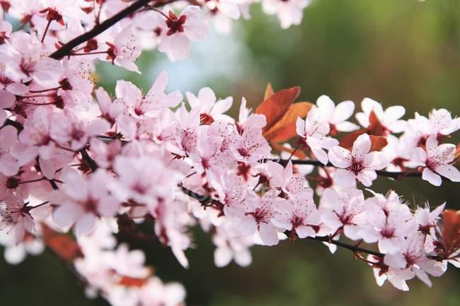 Крупним планом зору Японська Вишня розквітає на Гілка дерева — стокове фото