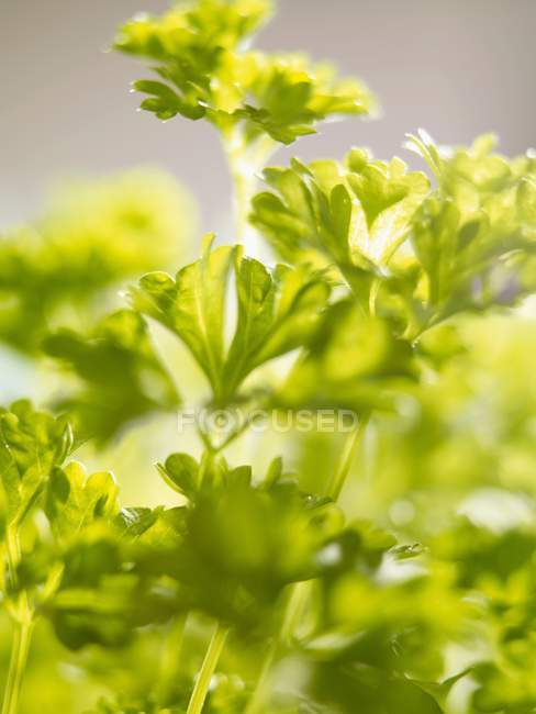 Зеленой петрушки кудрявой — стоковое фото
