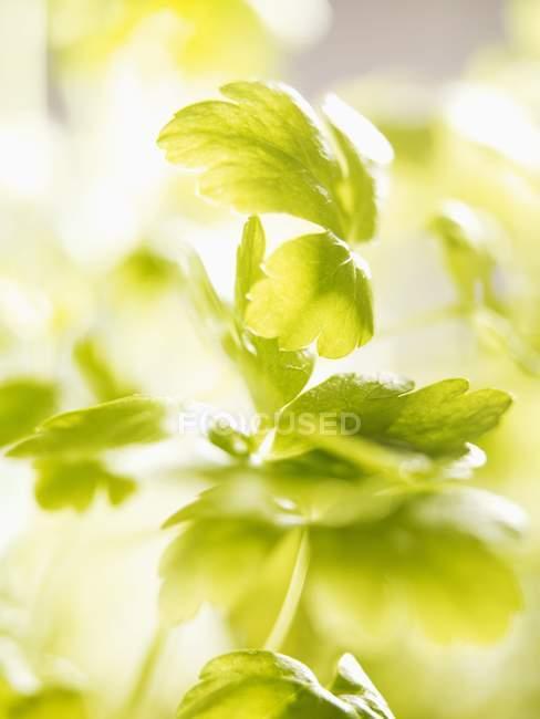 Зелений плоским листя петрушки — стокове фото