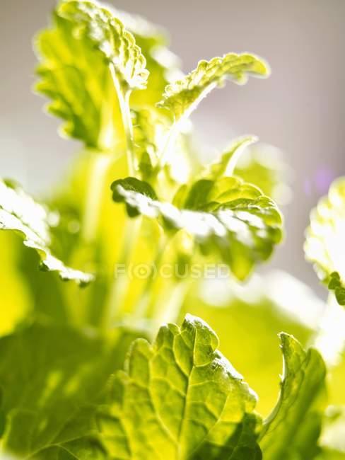 Лимонный бальзам, растущего в саду — стоковое фото