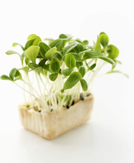 Огуречник аптечный зеленые ростки — стоковое фото
