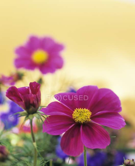 Closeup view of violet cosmos flowers — Stock Photo