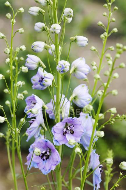 Closeup view of Delphiniums blossoms and buds in a garden — Stock Photo