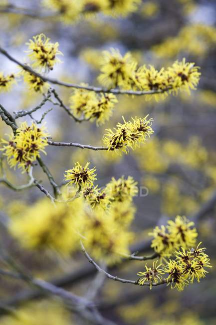 Closeup view of witch hazel flowers on branches — Stock Photo