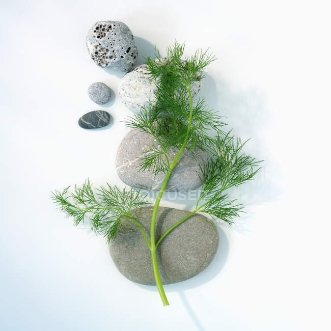 Fresh dill with pebbles — Stock Photo