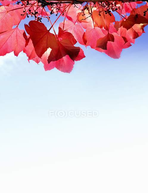 Wild vine red leaves in sunlight — Stock Photo