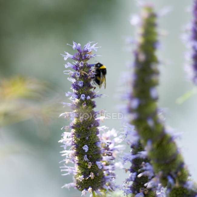 Closeup view of bumble bee collecting pollen from a flower — Stock Photo