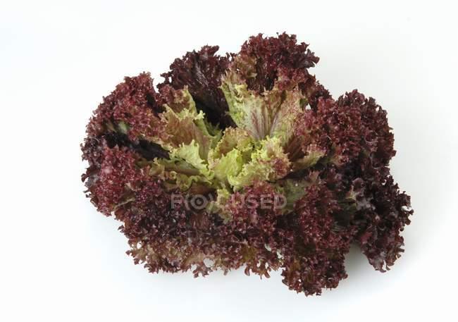Lollo rosso lattuga — Foto stock