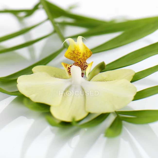 Closeup view of orchid on fan palm leaf — Stock Photo