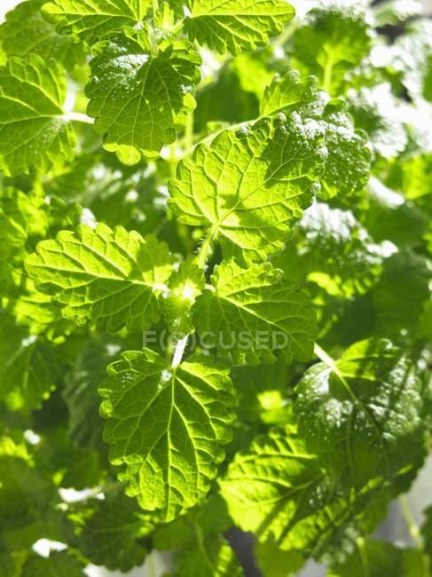 Lemon balm growing in garden — Stock Photo
