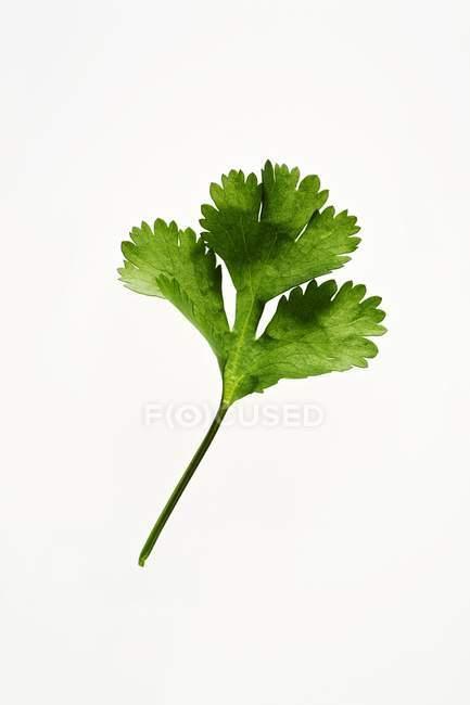 Свіжий коріандр листя — стокове фото