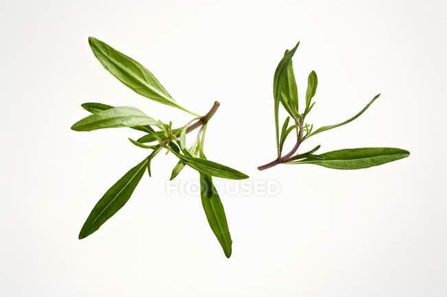 Fresh tarragon sprigs — Stock Photo