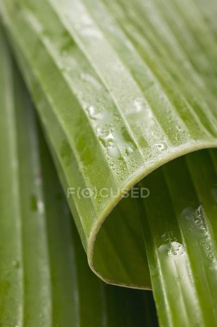 Rolled banana leaves — Stock Photo