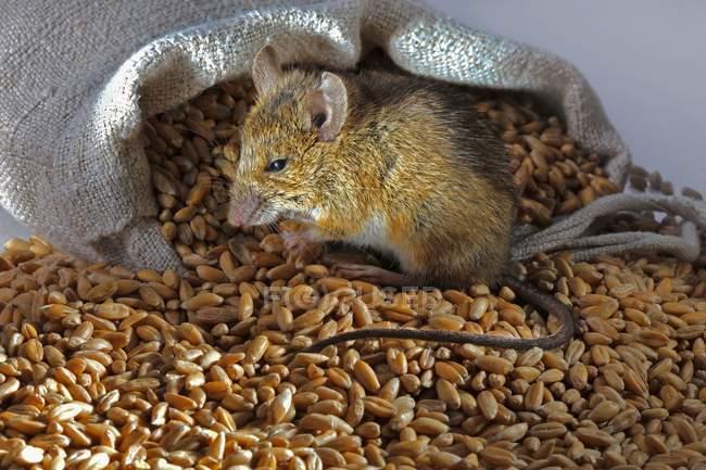 Vista de primer plano de un ratón vivo sentado en el montón de trigo cerca del saco - foto de stock