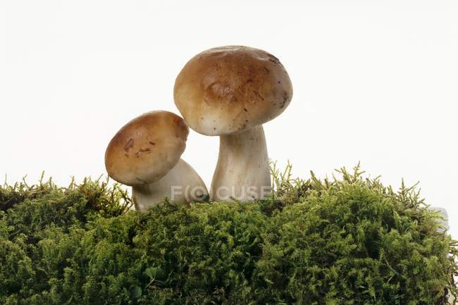 Two ceps on a bed of moss — Stock Photo