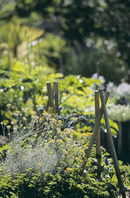 Дневной вид растений карри в огороде — стоковое фото