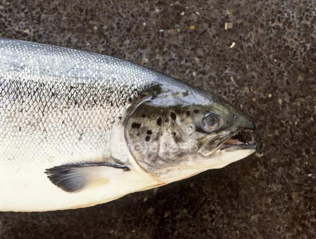 Загалом, сирі лосося — стокове фото