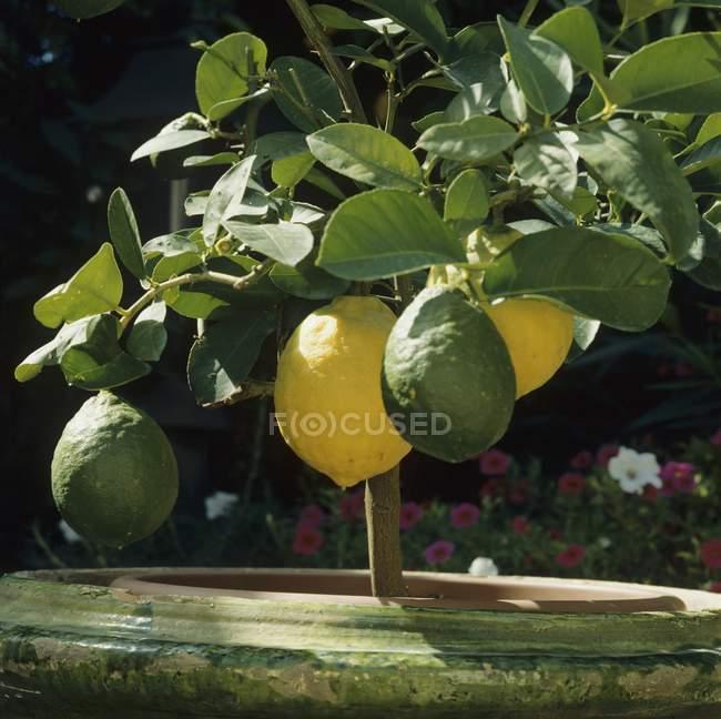 Limoni maturi e acerbi sulle piante — Foto stock