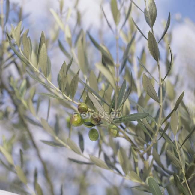 Olive che crescono sugli alberi — Foto stock