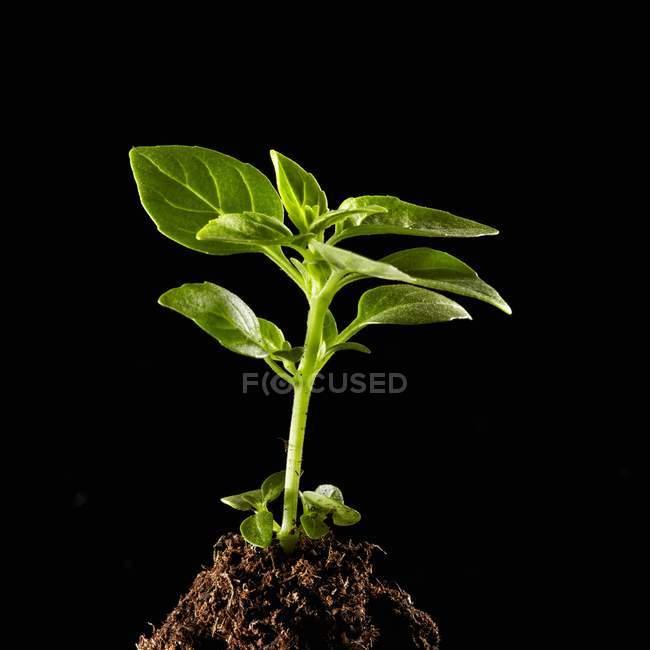 Crescimento da planta de manjericão — Fotografia de Stock