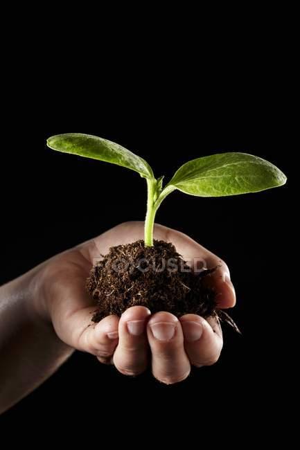 Une main tenant une plante de concombre avec de la terre sur fond noir — Photo de stock