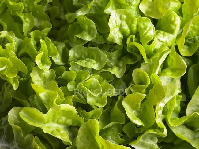 Fresh Green Lettuce — Stock Photo