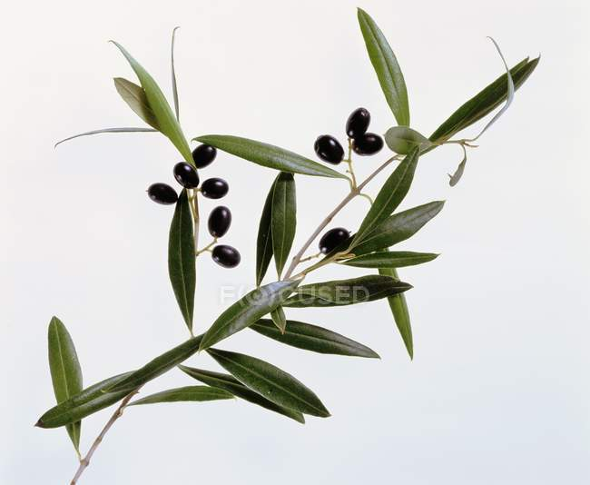 Olive sprigs with olives — Stock Photo