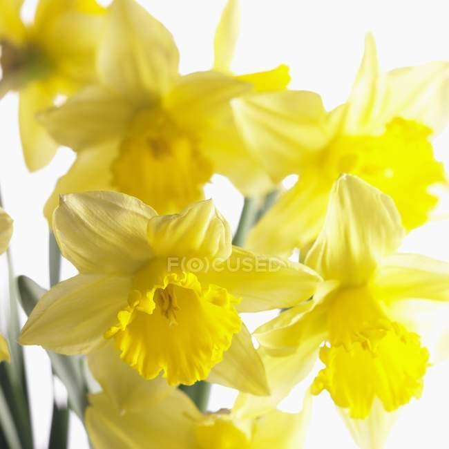 Vue rapprochée de narcissi jaune à fleurs — Photo de stock