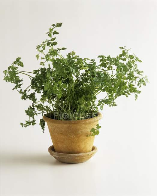 Chervil growing in pot — Stock Photo