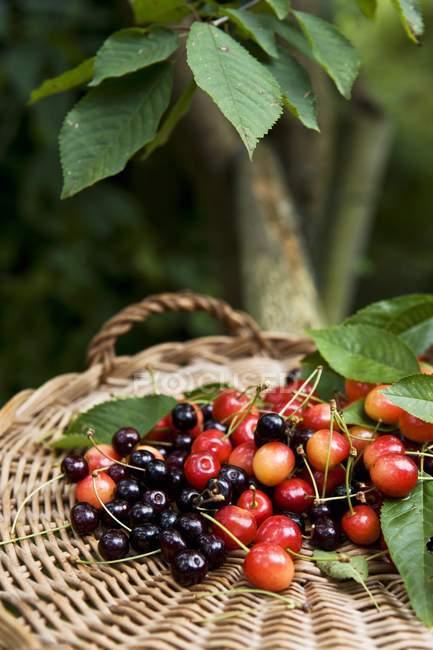 Fresh colorful cherries — Stock Photo